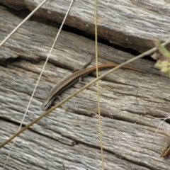 Morethia boulengeri (Boulenger's Skink) at Woodstock Nature Reserve - 8 Jan 2021 by KShort