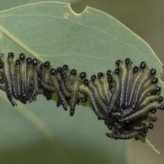Pseudoperga sp. (genus) (Sawfly, Spitfire) at The Pinnacle - 5 Jan 2021 by AlisonMilton