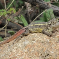 Diporiphora nobbi (Nobbi Dragon) at Woodstock Nature Reserve - 8 Jan 2021 by KShort