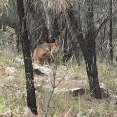 Macropus rufogriseus (Red-necked Wallaby) at Mount Taylor - 8 Jan 2021 by Tapirlord