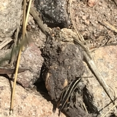 Macrotona australis (Common Macrotona Grasshopper) at Mount Taylor - 8 Jan 2021 by Tapirlord