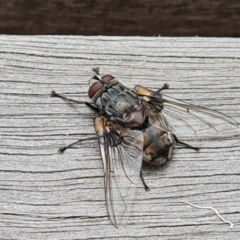 Rutilia (Donovanius) sp. (genus & subgenus) (A Bristle Fly) at Parkes, ACT - 8 Jan 2021 by Mike