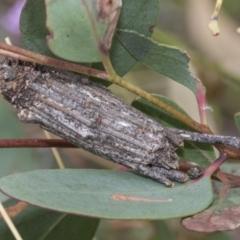 Clania ignobilis (Faggot Case Moth) at Hawker, ACT - 5 Jan 2021 by AlisonMilton