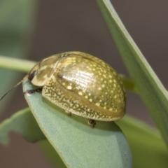 Paropsisterna variicollis (Eucalyptus variegated beetle) at The Pinnacle - 5 Jan 2021 by AlisonMilton