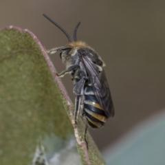 Lipotriches (Austronomia) australica (Halictid bee) at The Pinnacle - 5 Jan 2021 by AlisonMilton