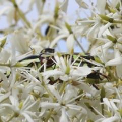 Eupoecila australasiae (Fiddler Beetle) at The Pinnacle - 5 Jan 2021 by AlisonMilton