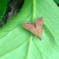 Endotricha pyrosalis (A Pyralid moth) at Aranda, ACT - 8 Jan 2021 by KMcCue