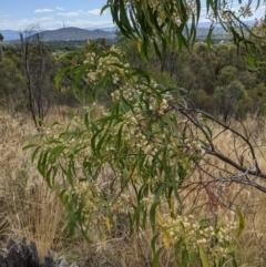 Acacia implexa (Hickory Wattle) at Mount Majura - 8 Jan 2021 by abread111