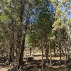 Callitris endlicheri (Black cypress pine) at Mount Majura - 8 Jan 2021 by abread111