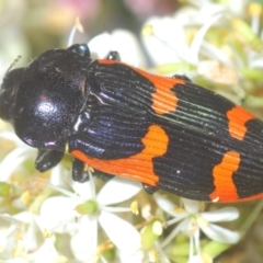 Castiarina bremei (A jewel beetle) at Lake Burley Griffin Central/East - 7 Jan 2021 by Harrisi