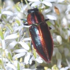 Selagis aurifera (Aurifera jewel beetle) at Red Hill Nature Reserve - 7 Jan 2021 by Harrisi