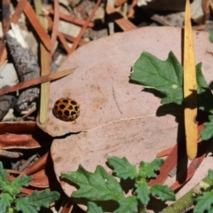 Harmonia conformis (Common Spotted Ladybird) at Cook, ACT - 8 Jan 2021 by Tammy