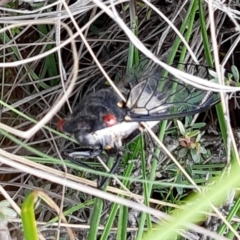 Psaltoda moerens (Redeye Cicada) at Rugosa at Yass River - 7 Jan 2021 by SenexRugosus