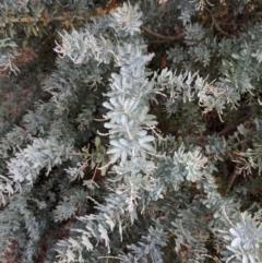 Acacia baileyana (Cootamundra Wattle, Golden Mimosa) at Mount Majura - 8 Jan 2021 by abread111