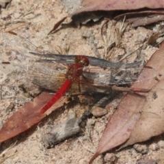 Diplacodes haematodes (Scarlet Percher) at The Pinnacle - 5 Jan 2021 by AlisonMilton