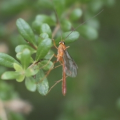 Ichneumonidae sp. (family) (Unidentified ichneumon wasp) at The Pinnacle - 5 Jan 2021 by AlisonMilton