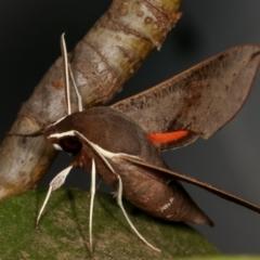 Hippotion scrofa (Coprosma Hawk Moth) at Melba, ACT - 27 Dec 2020 by kasiaaus