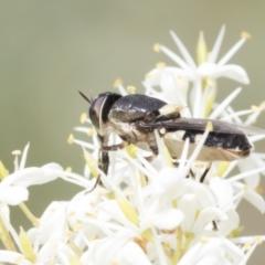 Odontomyia sp. (genus) (Soldier fly) at The Pinnacle - 5 Jan 2021 by AlisonMilton