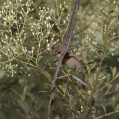Archimantis latistyla (Stick Mantis, Large Brown Mantis) at The Pinnacle - 5 Jan 2021 by AlisonMilton