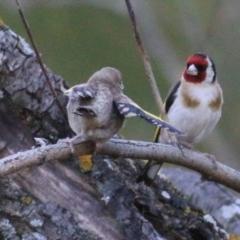 Carduelis carduelis (European Goldfinch) at Wodonga - 8 Jan 2021 by Kyliegw