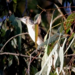 Philemon citreogularis (Little Friarbird) at Wodonga - 8 Jan 2021 by Kyliegw