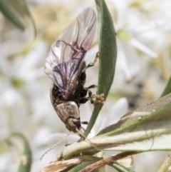 Paropsisterna decolorata (TBC) at The Pinnacle - 5 Jan 2021 by AlisonMilton
