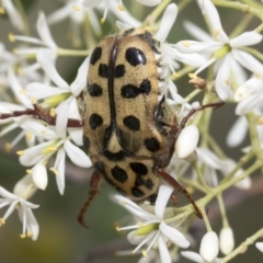 Neorrhina punctata (Spotted Flower Chafer) at The Pinnacle - 5 Jan 2021 by AlisonMilton