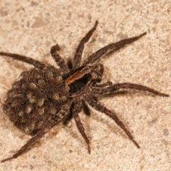 Lycosidae sp. (family) (Unidentified wolf spider) at Melba, ACT - 23 Dec 2020 by kasiaaus