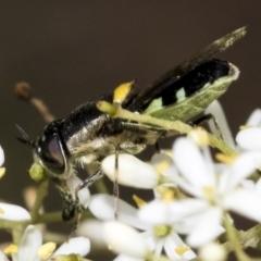 Odontomyia sp. (genus) (Soldier fly) at The Pinnacle - 6 Jan 2021 by AlisonMilton