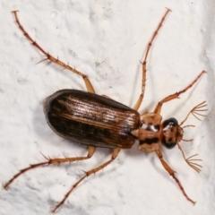 Telura sp. (genus) (A scarab beetle) at Melba, ACT - 23 Dec 2020 by kasiaaus