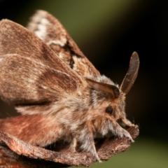 Pernattia pusilla (She-oak Moth) at Melba, ACT - 27 Dec 2020 by kasiaaus