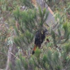 Calyptorhynchus lathami (Glossy Black-Cockatoo) at Lower Boro, NSW - 8 Jan 2021 by mcleana