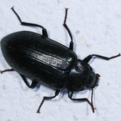 Prophanes simplex (Darkling beetle) at Melba, ACT - 26 Dec 2020 by kasiaaus