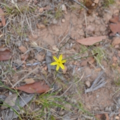 Tricoryne elatior (Yellow Rush Lily) at Yass River, NSW - 1 Jan 2021 by 120Acres