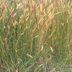 Anthoxanthum odoratum (Sweet Vernal Grass) at Kosciuszko National Park - 6 Jan 2021 by jgiacon