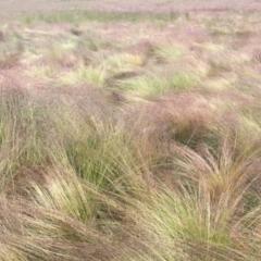 Poa labillardierei (Common Tussock Grass, River Tussock Grass) at Kosciuszko National Park - 5 Jan 2021 by jgiacon