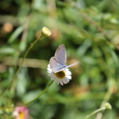 Zizina otis (Common Grass-blue) at Mawson, ACT - 9 Dec 2020 by Lindell