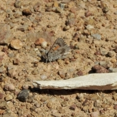 Lucia limbaria (Chequered Copper) at Holt, ACT - 8 Jan 2021 by KMcCue