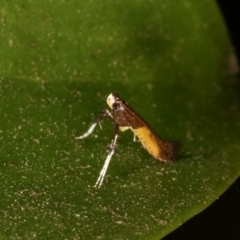 Caloptilia azaleella (Azalea Leafminer) at Melba, ACT - 27 Dec 2020 by kasiaaus