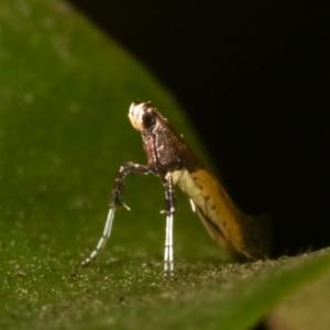 Caloptilia azaleella at Melba, ACT - 27 Dec 2020