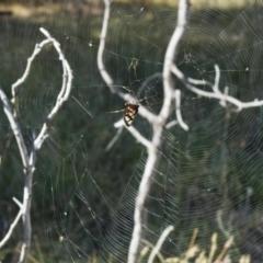 Amata (genus) (Handmaiden) at Holt, ACT - 8 Jan 2021 by KMcCue