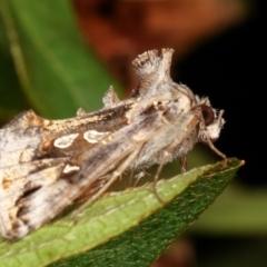 Chrysodeixis argentifera (Tobacco looper) at Melba, ACT - 23 Dec 2020 by kasiaaus