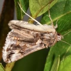 Chrysodeixis argentifera at Melba, ACT - 23 Dec 2020
