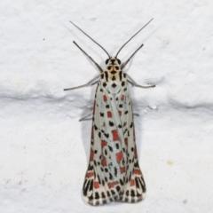 Utetheisa pulchelloides (Heliotrope Moth) at Melba, ACT - 23 Dec 2020 by kasiaaus