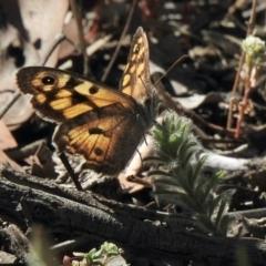 Geitoneura klugii (Marbled Xenica) at Aranda Bushland - 8 Jan 2021 by KMcCue