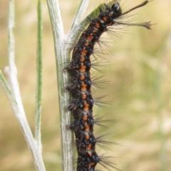 Nyctemera amicus (Senecio or Magpie moth) at Higgins, ACT - 3 Jan 2021 by pinnaCLE