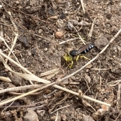 Bembix sp. (genus) (Unidentified Bembix sand wasp) at Flynn, ACT - 7 Jan 2021 by Rosie