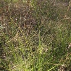 Eragrostis trachycarpa (Annual Love Grass) at The Pinnacle - 8 Jan 2021 by pinnaCLE