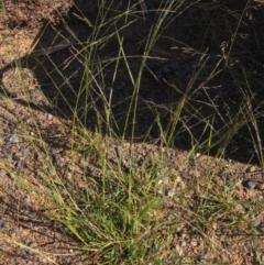 Eragrostis parviflora (Weeping Love Grass) at The Pinnacle - 8 Jan 2021 by pinnaCLE
