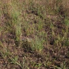 Eragrostis curvula (African Lovegrass) at The Pinnacle - 8 Jan 2021 by pinnaCLE